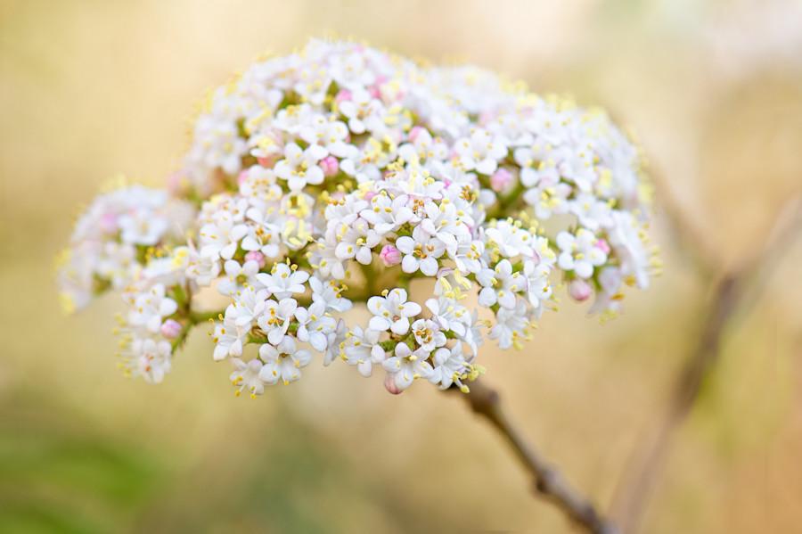 Photograph Viburnum Spring