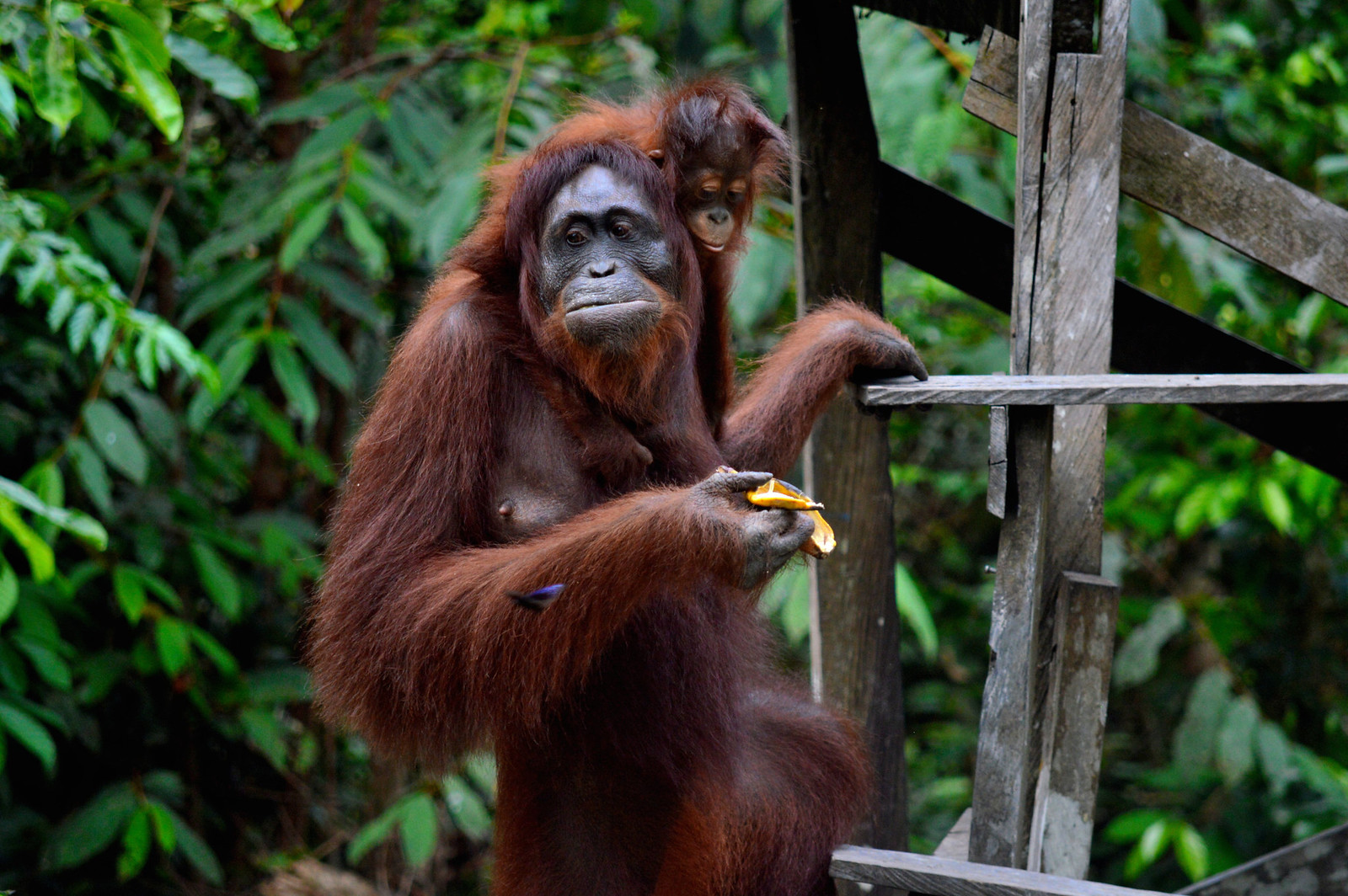 Wild orangutan in Borneo.