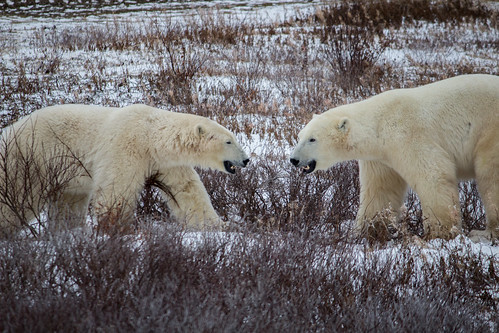 Wild Polar Bears in Churchill | by virtualwayfarer