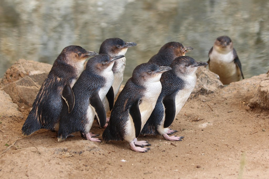 Eudyptula minor (Little Penguin; Fairy Penguin) | Little ...