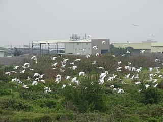 鷺科鳥類聚集的二仁溪畔林。圖片來源:台灣濕地保護聯盟提供。