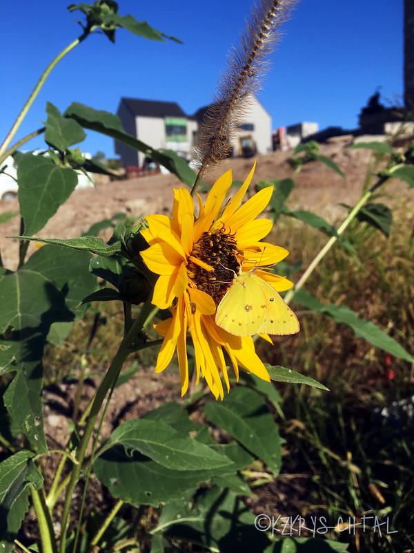 IMG_4516ButterflyAndSunflower