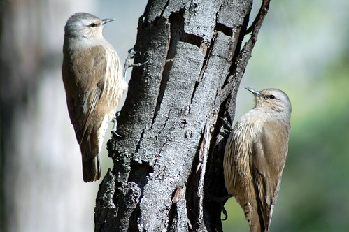 Treecreepers at Honeyeater Picnic area | by Friends of Chiltern Mt Pilot National Park