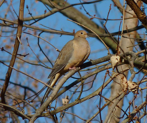 Mourning Dove | by Dendroica cerulea