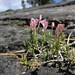 Linanthus pungens