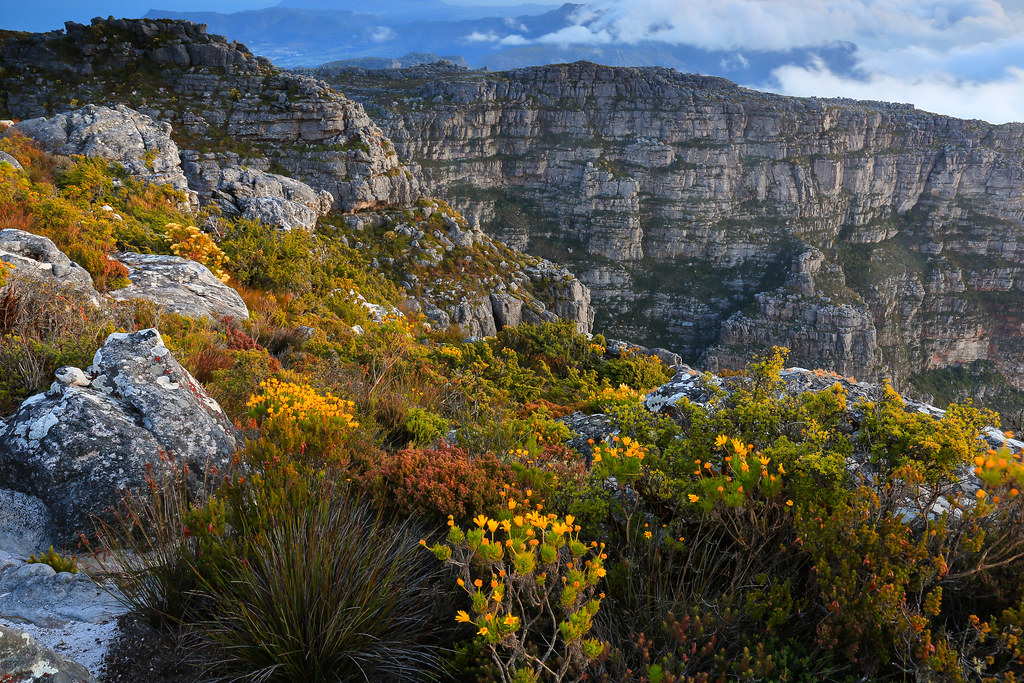 Fynbos On Top Of Table Mountain Cape Town Western Cape
