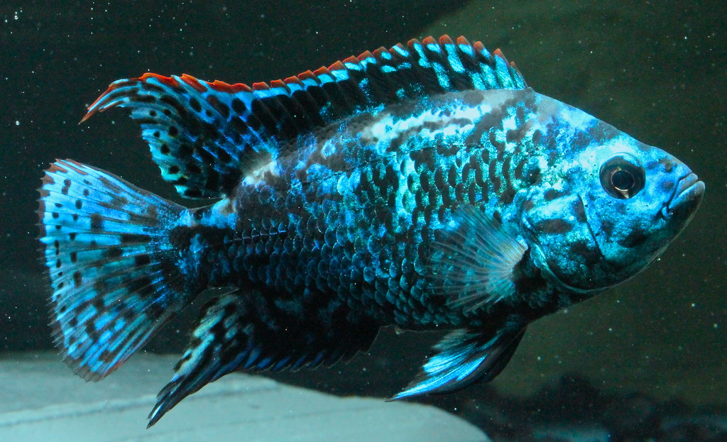 electric blue jack dempsey orlando c flickr