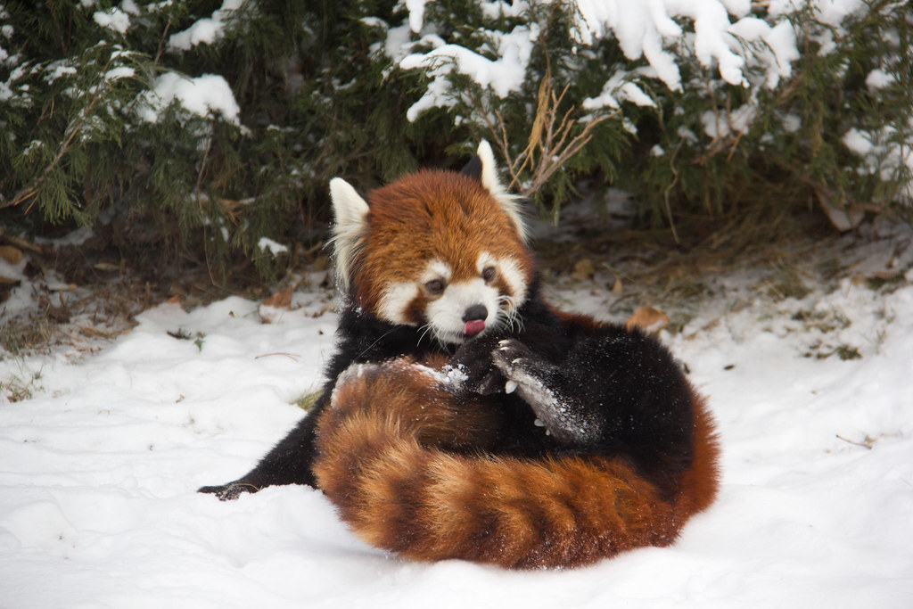 Red fox  Wikipedia