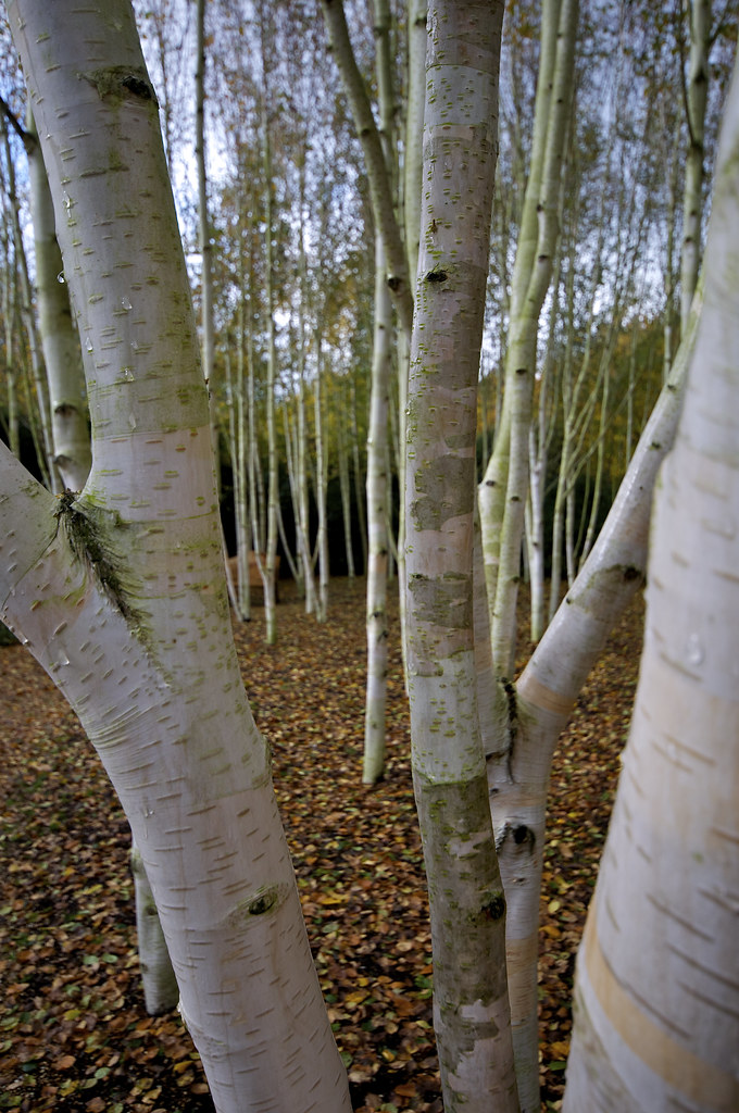 Silver birch trees at anglesey abbey national trust for Silver birch trees for small gardens