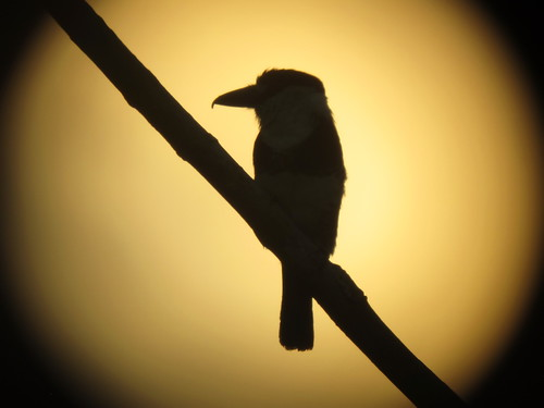 Guianan Puffbird at sunset | by North Carolina Museum of Natural Sciences