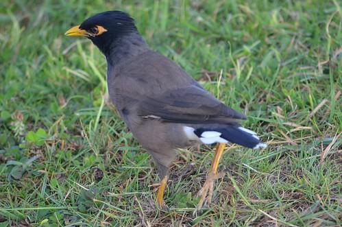 Myna Bird Images Maui Birds Myna | by