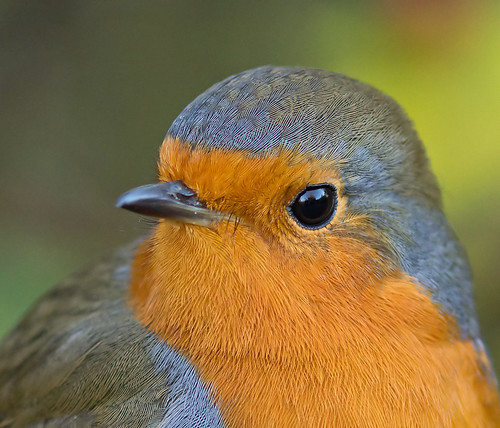 Robin (Explore) | by Ohsobjork
