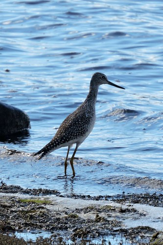 #99 Greater Yellowlegs