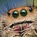 Eyes of a Female Jumping Spider - Phidippus regius - Florida