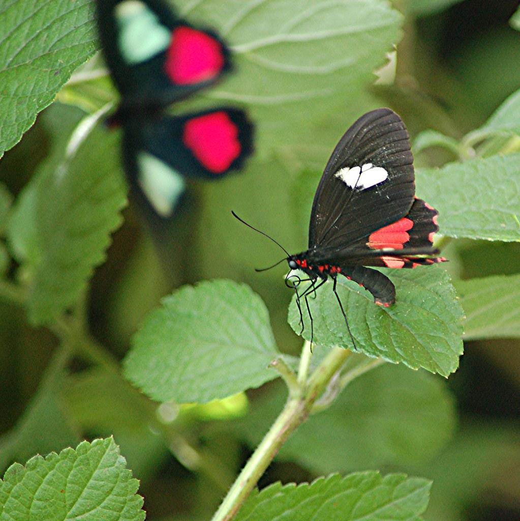Male mating success female butterflies sperm