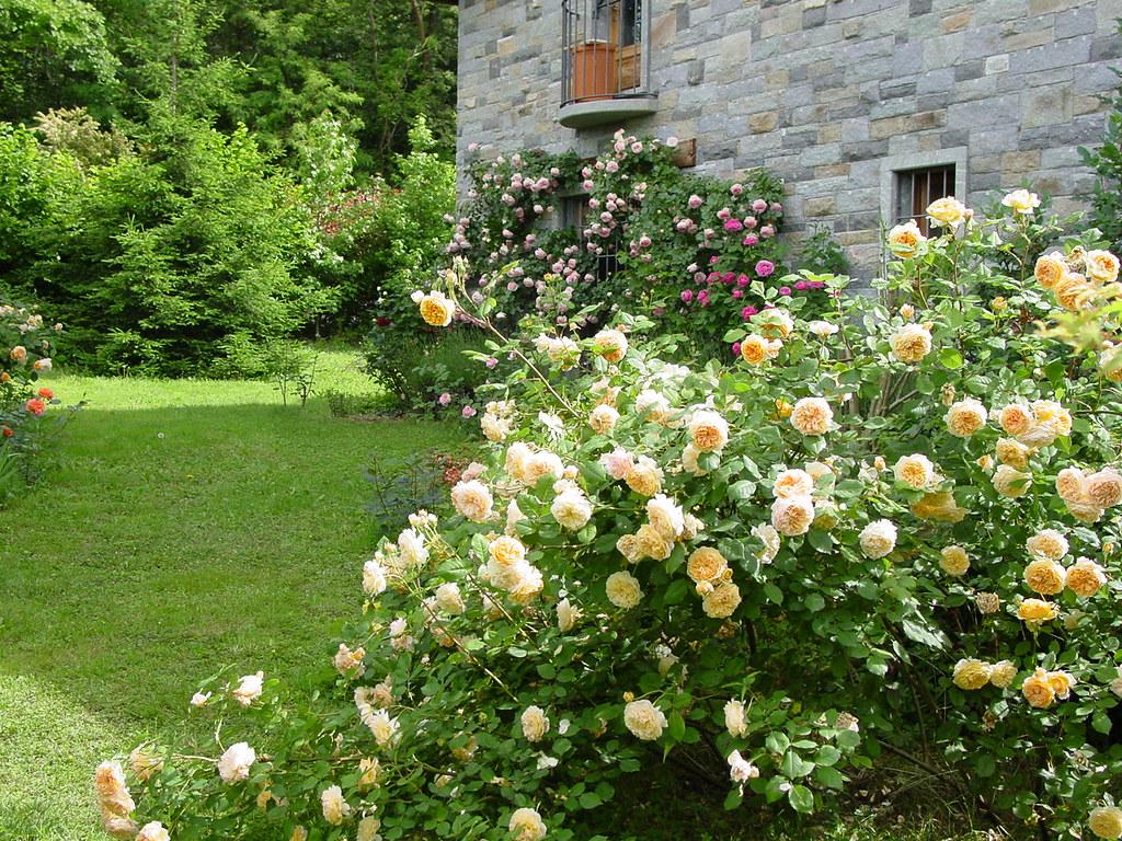 Ape su sole rosa la copertura del terreno fiore il mio giardino
