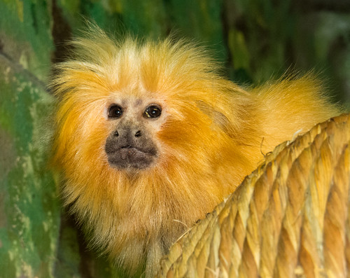 Golden Lion Tamarin | by Podsville