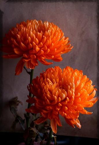 Adding Spice to Winter Orange Spider Mums