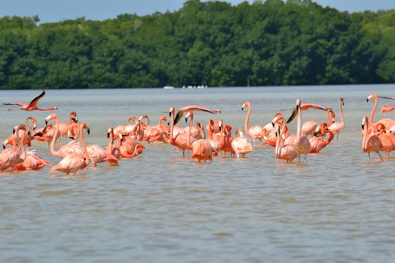 Celestún - Flamingos