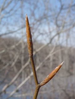 Beech buds | by Dendroica cerulea