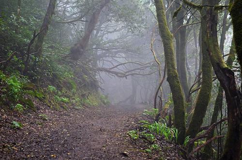 Laurisilva forest, Anaga, Tenerife