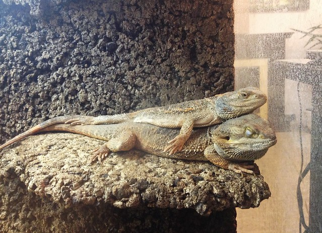 Cute bearded dragon :) | Flickr - Photo Sharing!