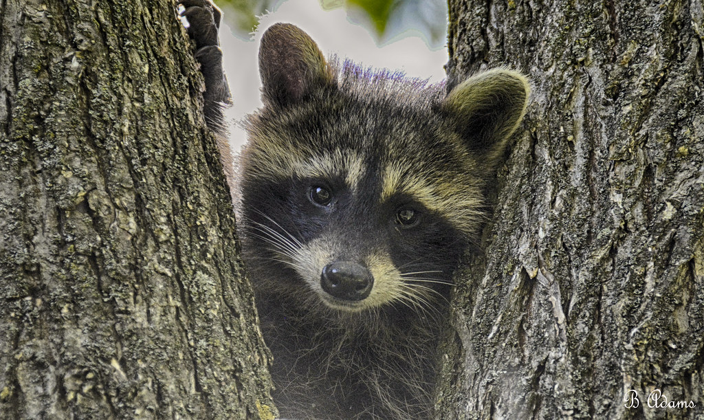 Image result for young raccoon