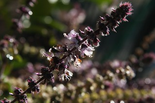 African Blue Basil Perennial Flower Stalk In The Morning Sun | by Chic Bee