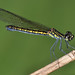 Beautifully patterned damselfly