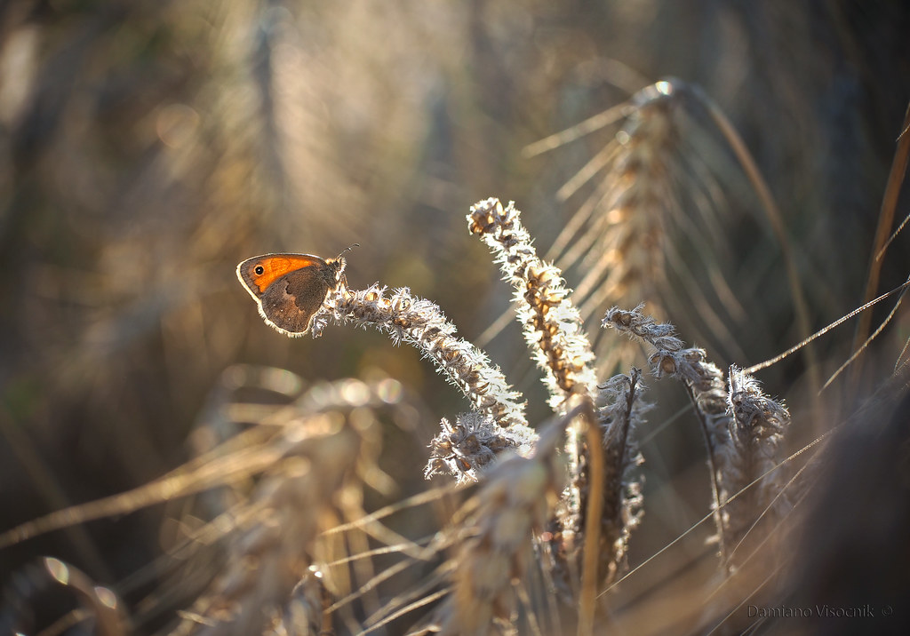 Butterfly on barley_c