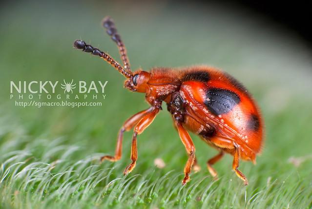 Ladybird-mimic fungus beetle (Endomychidae) - DSC_2276