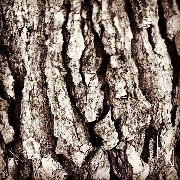 Textura natural corteza de pino arbol pino pinetree n - Corteza de pino ...