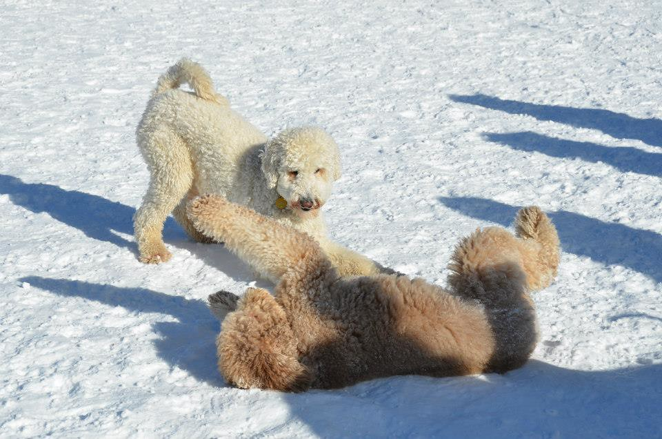 Aspen Dogs Goldendoodles At Play Andrea Arden Flickr