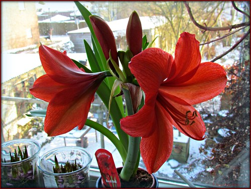 Royal red lente op de vensterbank spring on the for Hippeastrum royal red entretien