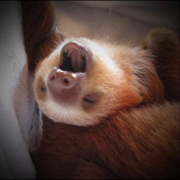 Baby sloth yawning | Baby sloth yawning | Andrew | Flickr