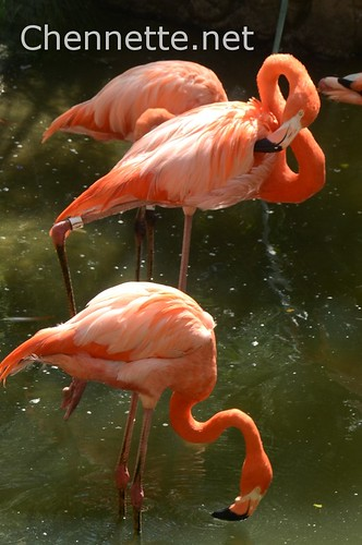 Caribbean Flamingos | by Chennette
