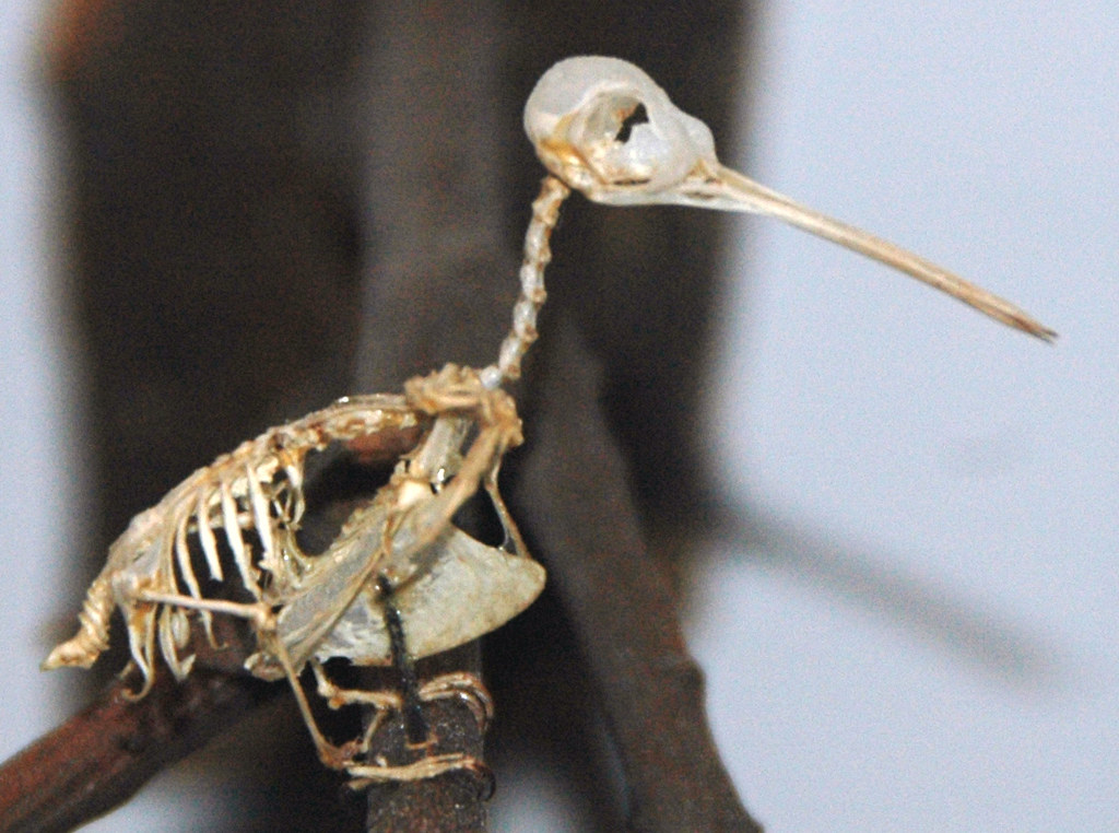 Archilochus Colubris Ruby Throated Hummingbird Skeleton
