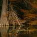 Autumn Cypress - Frio River, Texas