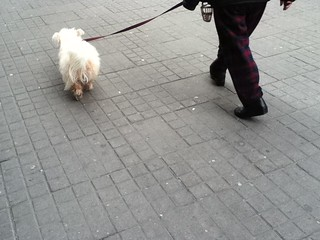 Perrito blanco paseando por el bogota downtown | by VvVAmobile