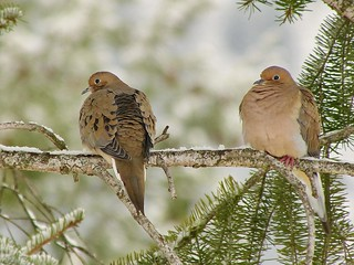 a mourning dove morning | by mikewiz