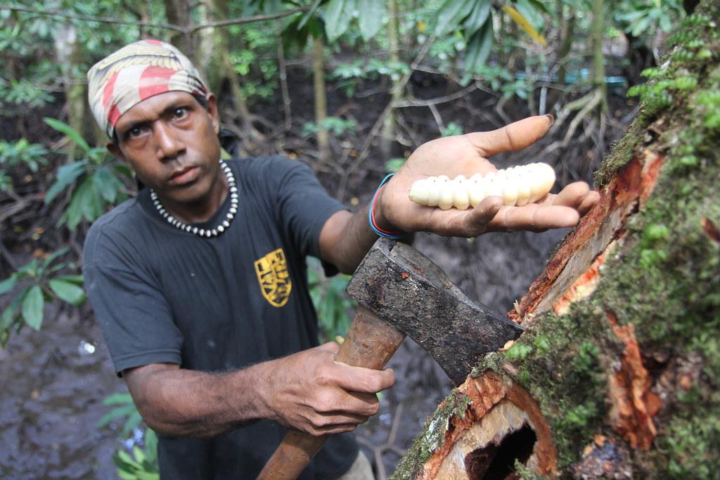 Large Worms In Mangrove Timber In Malaita Solomon Islands