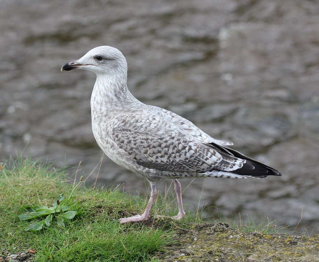 Herring Gull photos | Birdspix
