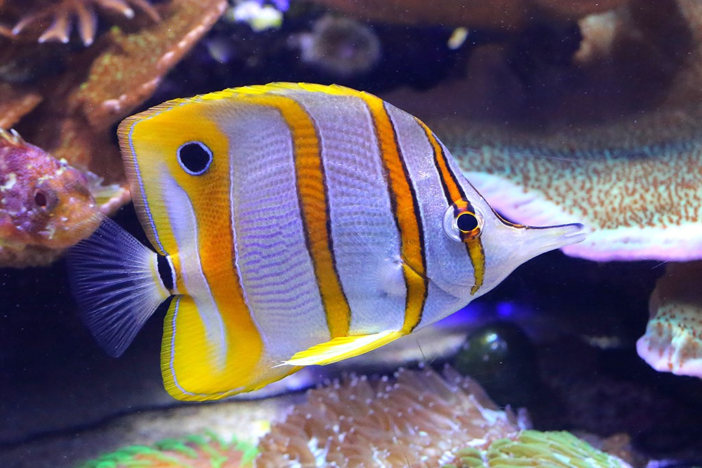 Animals Copperbanded Butterflyfish By Rons Aquarium Photos Copperbanded Butterflyfish By Rons Aquarium Photos Tripadvisor Copperbanded Butterflyfish Taxonomy Kingdom Animalia Phylu2026 Flickr