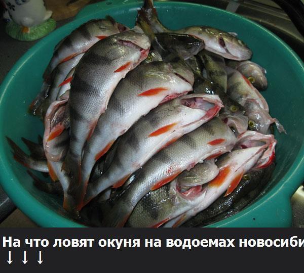 Где ловится окунь в новосибирске? Окуня запретят ловить 29 просмотров Как ловят сазана