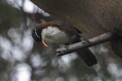 Chestnut-backed Scimitar-babbler - Ijen - East Java_MG_7589