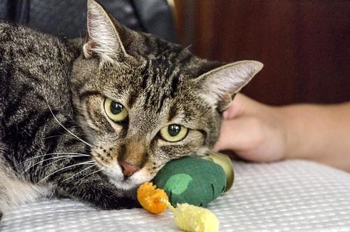Susi, gata parda guapa y cariñosa esterilizada, nacida en Enero´15, en adopción. Valencia. ADOPTADA. 29787180531_bcd8b92171
