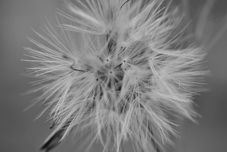 Dente-de-leão - Dandelion | by ElderPaes
