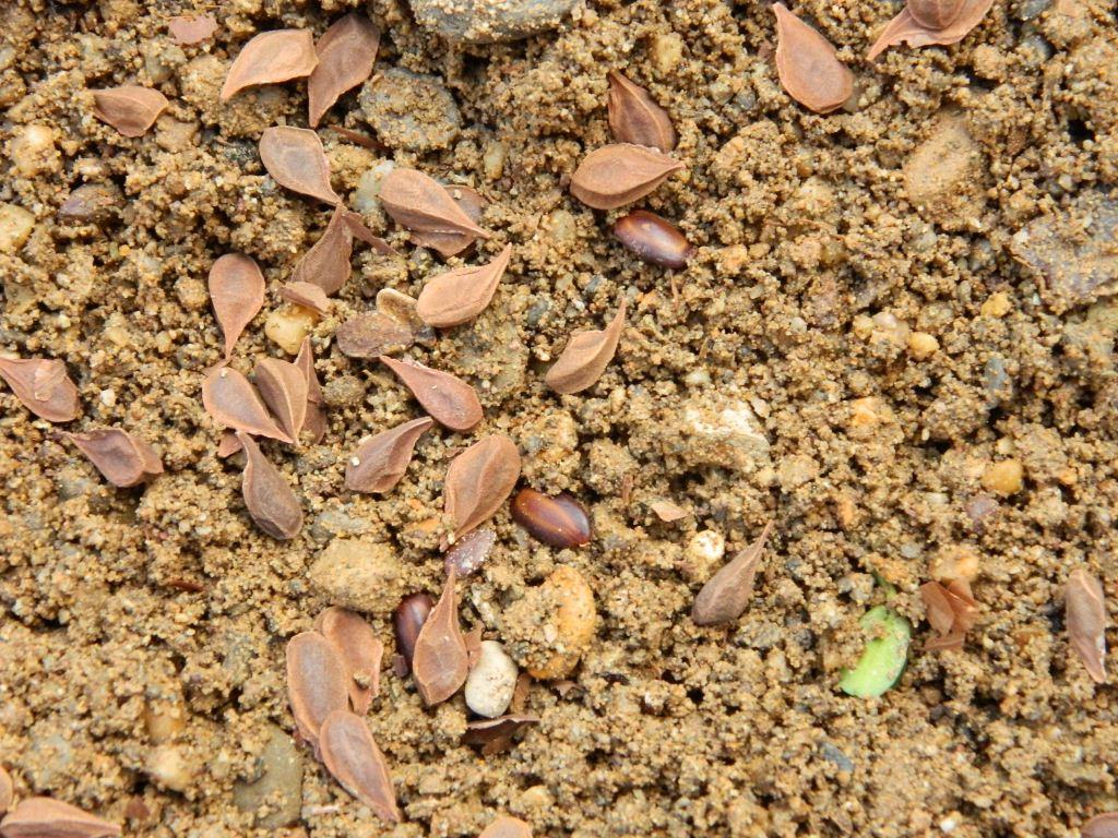 Germinador con semillas de abarco vivero mata de cacao 8 for Matas de viveros