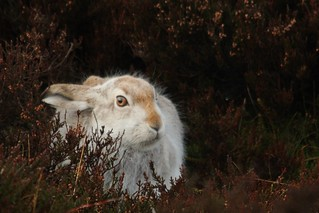 Mountain Hare In The Heather | by Derbyshire Harrier