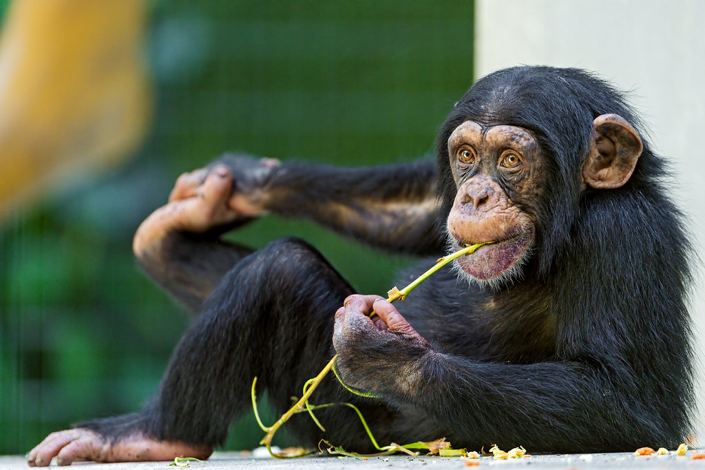 how to get the strength of a chimp